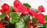 комнатные цветы бегония